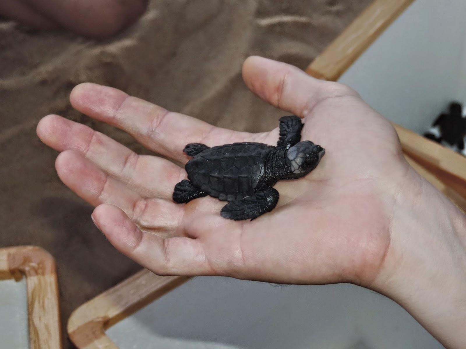 NATUREZA – Nessa tarde de sábado projeto Tamar realiza mais uma soltura de tartarugas