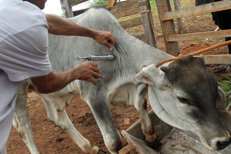 2ª etapa da vacinação contra a aftosa até 30 de novembro