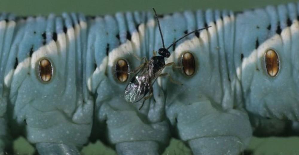 O pequeno inseto de 1 mm que salvou economia de um país